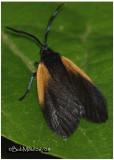 Orange-patched Smoky MothPyromorpha dimidiata #4639