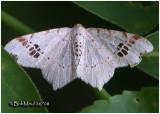 Birch Angle MothMacaria notata #6330