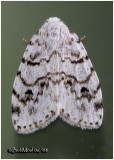 Little White Lichen MothClemensia albata #8098