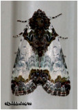 Tufted Bird Dropping MothCerma cerintha #9062
