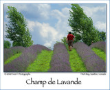 Lavander field ...