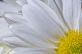 Daisy  ~  May 18