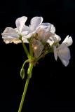 White Geranium  ~  August 15