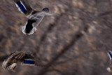 Mallards in Flight  ~  March 9
