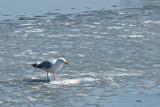 Gull  ~  March 29