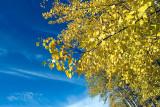 Birch Fall  ~  October 20  [12]