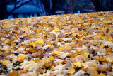 Fallen Maple Leaves  ~  October 30  [5]