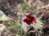Pasque Flower (6)