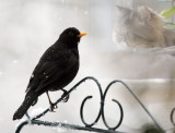 Amsel / Common Blackbird