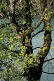 Baum an der Linth