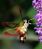 Hummelschwärmer / broad-bordered bee hawkmoth