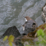 Wasseramseln / White-throated Dipper