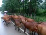 Cattles on the highway
