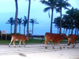 Cattles by the ocean front