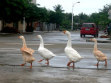 Geese in town of BoAo