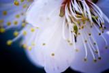 japan_blossom.jpg