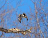 northern hawk owl Image0006.jpg