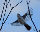 Blue-gray Gnatcatcher flight.jpg