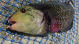 Un poisson de Polynésie