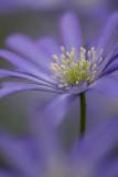 Anenome Blanda Blue