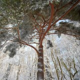 Scots Pine in the snow
