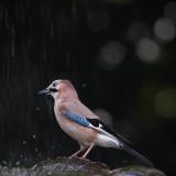 Jay on a Fountain