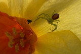 Face-off in a Daffodil