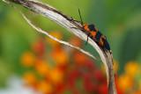 Milkweed bug in Bethesda garden