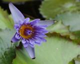 Water lily bloom in Bethesda garden