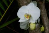 White orchid in Bethesda garden