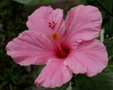 Hibiscus in Bethesda garden