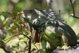 A300 Morikami green iguana eating