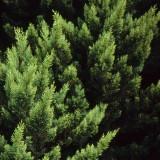 Cypress Pine Detail