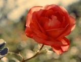 Rose v1