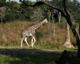giraffe 1239.jpg