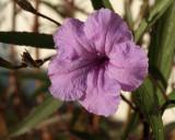 mexican petunia 1206.jpg