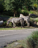 zebra 1244.jpg