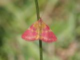 Allmän purpurmätare - Purple-barred Yellow (Lythria cruentaria)
