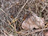 Nordisk kärrtrollslända - Northern White-faced Darter (Leucorrhinia rubicunda)