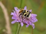 Humlebagge - Bee Beetle (Trichius fasciatus)