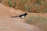 Skata - North-African magpie (Pica pica mauritanica)