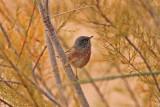 Atlassångare - Tristram's Warbler (Sylvia deserticola)