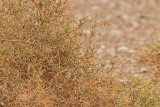 Saharasångare - African Desert Warbler (Sylvia deserti)