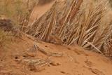 Saharaskriktrast -  Fulvous Babbler (Turdoides fulvus)