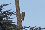 Atlasgröngöling - Levaillant's Green Woodpecker (Picus vaillantii)