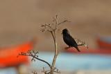 Svartstare - Spotless Starling (Sturnus unicolor)