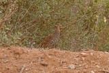 Marockansk frankolin - Double-spurred Francolin (Francolinus bicalcaratus)