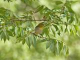 Japansk glasögonfågel - Japanese White-eye (Zosterops japonicus)