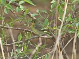 Kinesisk narcissflugsnappare - Chinese Flycatcher (Ficedula elisae)
