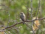 Glasögonflugsnappare - Asian Brown Flycatcher (Muscicapa dauurica)